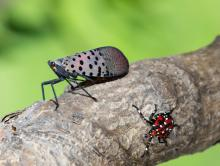 LF-spotted lanternfly (Lycorma delicatula) winged adult 4th instar nymph (red body) in Pennsylvania, on July 20, 2018. USDA-ARS Photo by Stephen Ausmus.