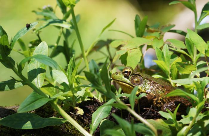 Frog - photo Thomas J. Faust