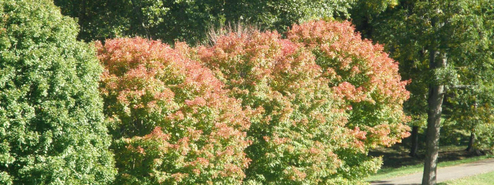 Maple trees just beginning to turn colors Photo Jane Daniels
