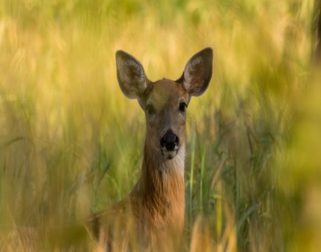 Deer. Photo by James Hammond.
